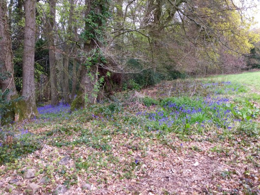 Bluebells crossing from wood to field margin