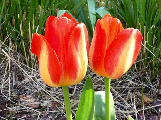 Orange Emperor tulips