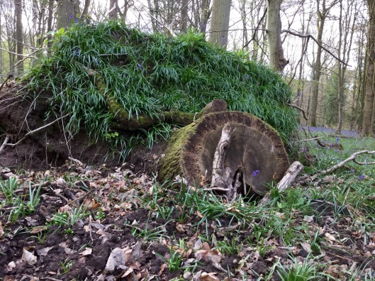 Fallen tree in the bluebell wood