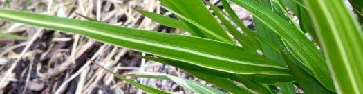 Molinia variegation spring 2016
