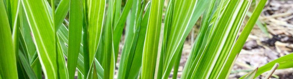 Variegated Molinia caerulea subspecies arundinacea barn house
