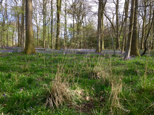 Deschampsia in bluebell woods