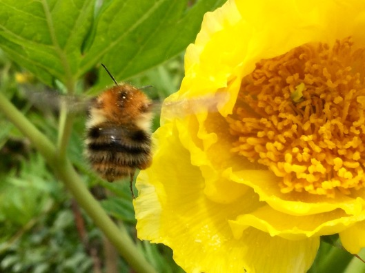 Common Carder Bee tree peony