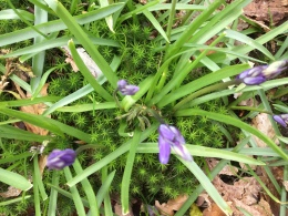 Bluebell growing through moss or vice versa