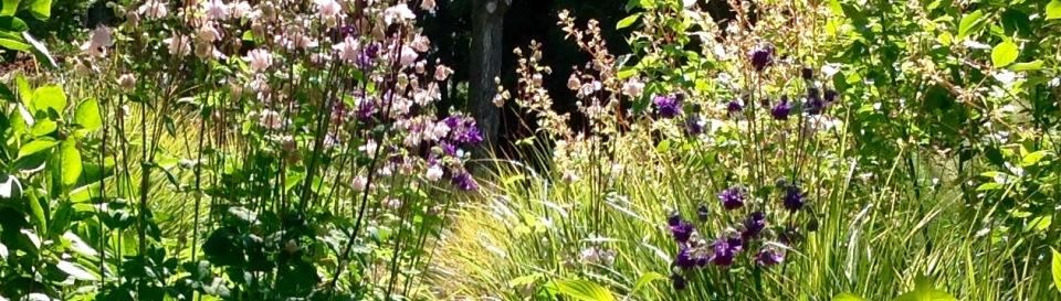 Aquilegia vulgaris barn house garden