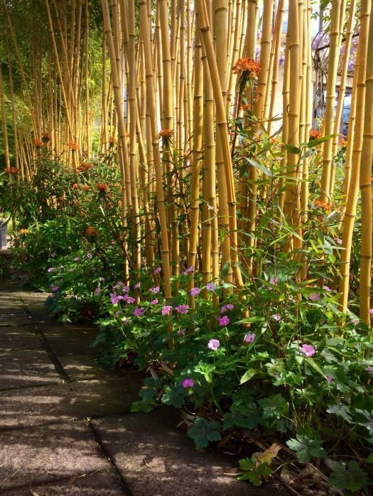 Bamboo hedge beside path
