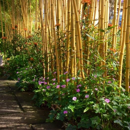 Bamboo hedge beside path