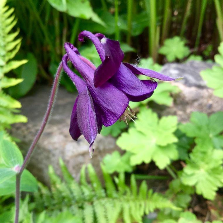 Aquliegia purple may