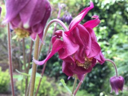 Aquilegia may ruby red