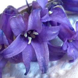 Hybrid bluebell close up