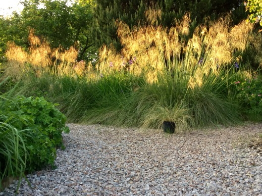 Stipa gigantea June