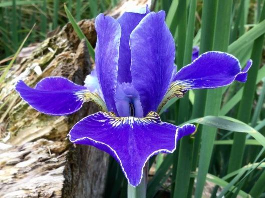 Siberian Iris silver edge