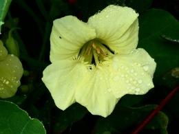 Pale yellow nasturtium