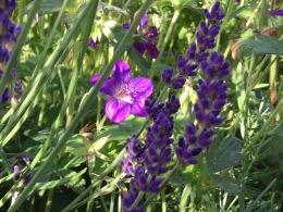 Lavender and gernaium