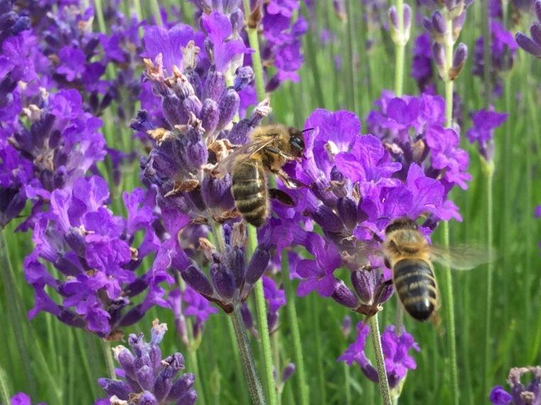 Honey bees lavender