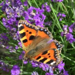 Small tortieshell butterfly