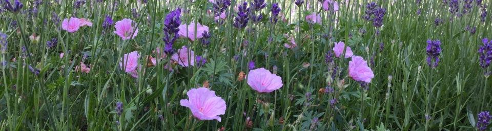 Lavender geranium edge Barn House Garden