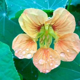 Peach coloured nasturtiums