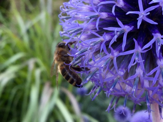 Echinops ritro And honeybee
