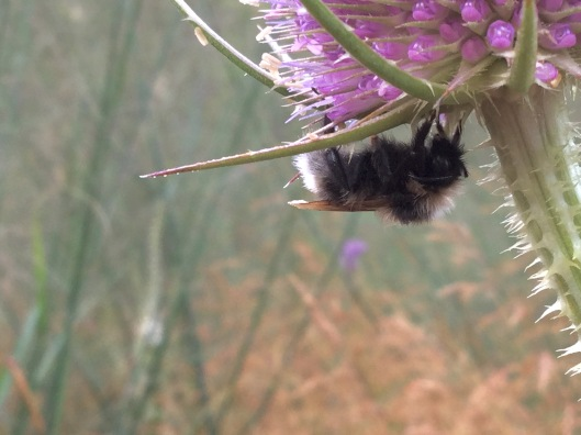 Bee sleeping on teasel
