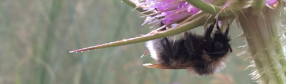 Bumble bee on teasel