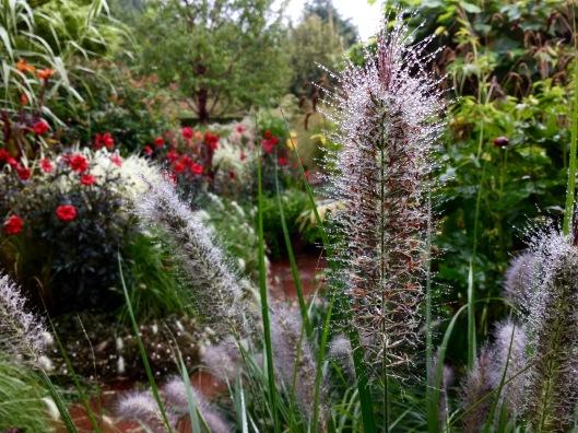 Pennisetum redhead