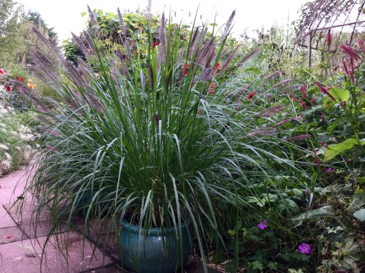Pennisetum red head