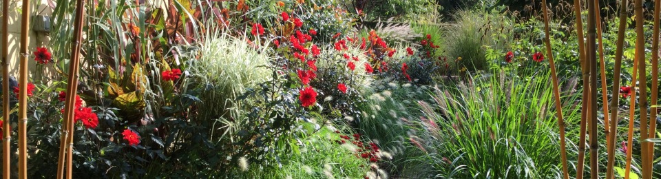 Patio pots and Pennisetum alopecuroides 'Red Head'