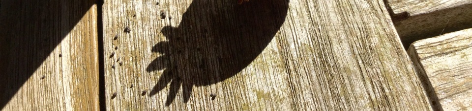 Poppy seed head shadow