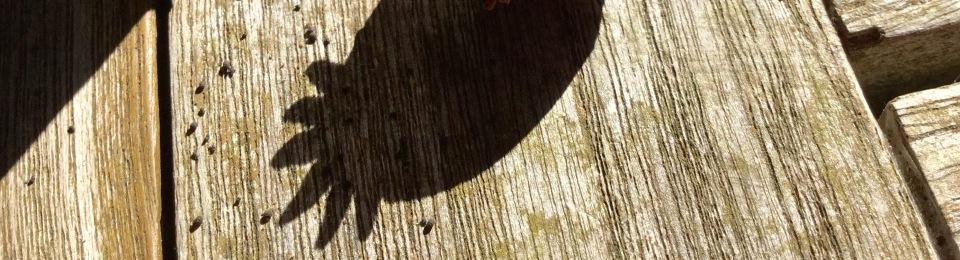 Poppy seed head shadow