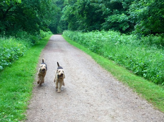 Dogs racing for a biscuit