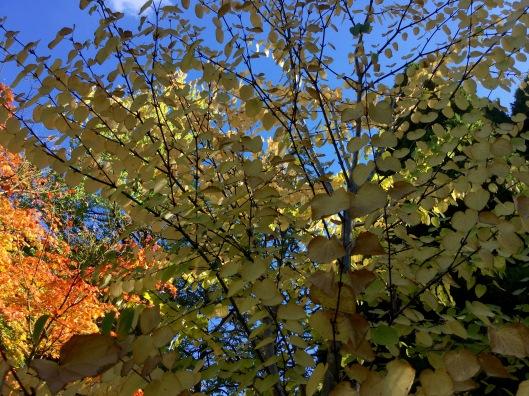 Cerdiphyllum magnificum