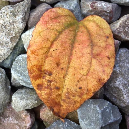 Cercidiphyllum leaf gravel