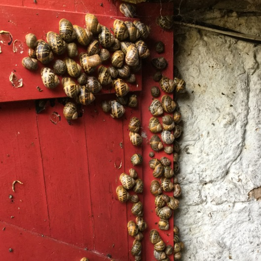 Cluster of snails glued to the door