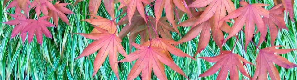 Acer leaves hakonechloa