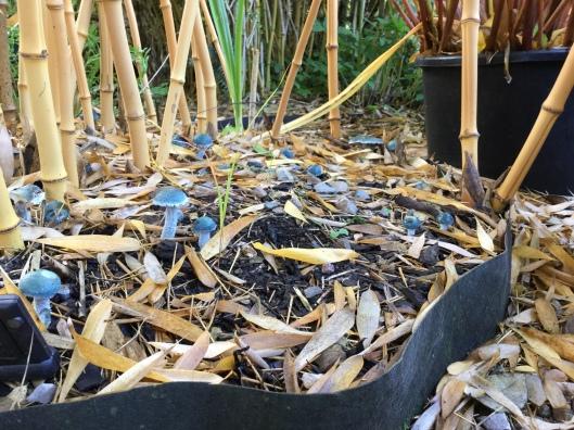 Bamboo blue mushrooms