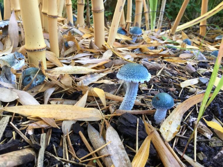 Blue mushroom newly opened