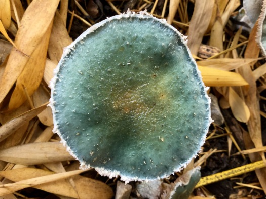Blue mushroom mature cap from above