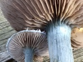 Blue mushrooms