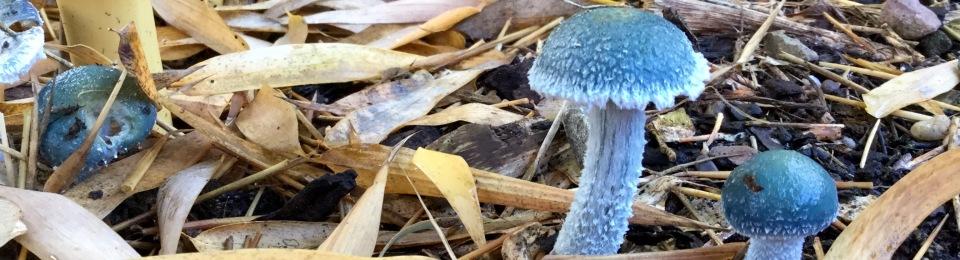Blue Roundhead mushrooms
