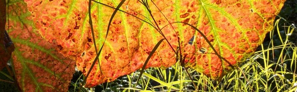 Muhlenbergia dumosa against backlit vine leaf