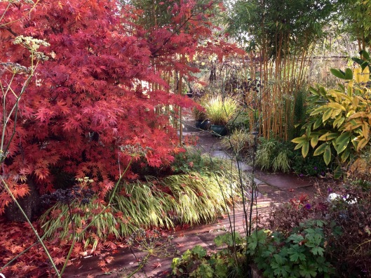 Acer edged with variegated hakonechloa