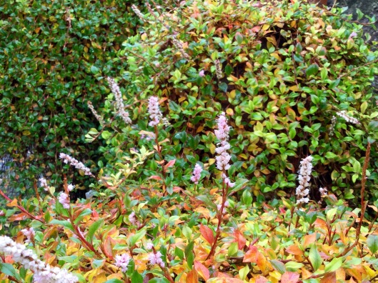 Persicaria vacciniifolia