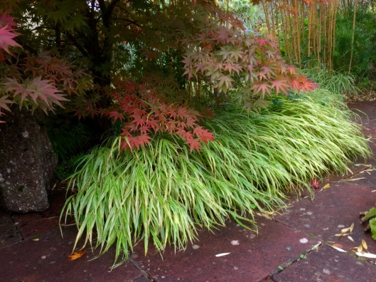 Acer and hakonechloa