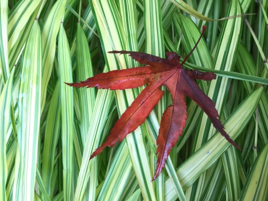 Acer leaf against hakonechloa
