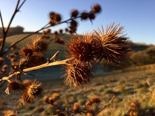 Golden seedheads of Greater Burdock