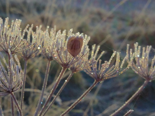 Frosted cow parsley seed head
