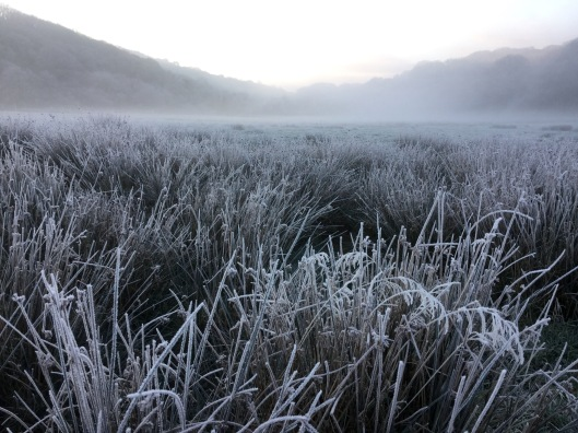 Frozen rushes in the misty meadow