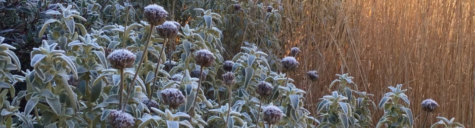 Frosted Phlomis in January