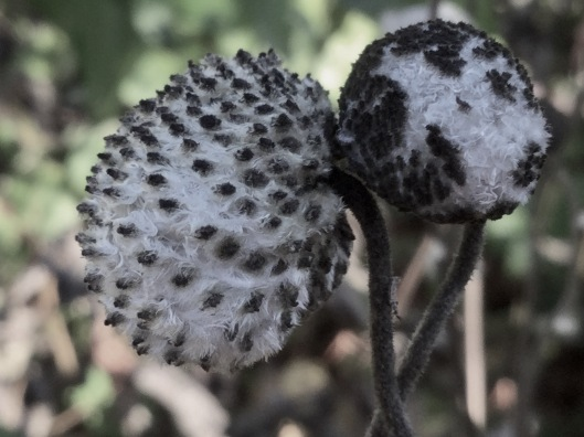 Spherical seed heads of Japanese Anemone
